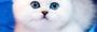 БРИТАНСКИЕ котята СЕРЕБРИСТЫЕ ШИНШИЛЛЫ ШОУ-КЛАССА!